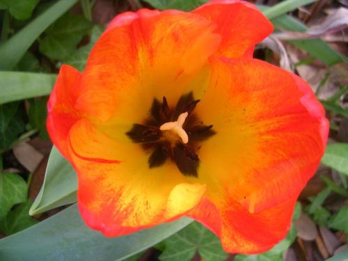 Aa_tulip