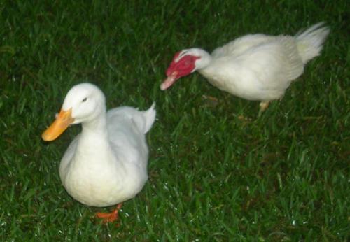 Killer_ducks